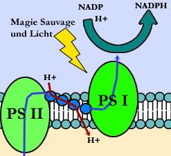 Anbindung von Protonen an NADP